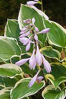 Hosta 'Torchlight' in flower
