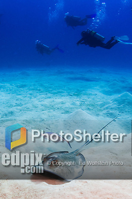 20 June 2016: A Southern Stingray (Dasyatis americana) is accompanied by a bar jack (Caranx ruber) near the Wreck of the Doc Poulson off the shores of 7-Mile Beach on the West side of Grand Cayman Island. Located in the British West Indies in the Caribbean, the Cayman Islands are renowned for excellent scuba diving, snorkeling, beaches and international banking.  Mandatory Credit: Ed Wolfstein Photo *** RAW (NEF) Image File Available ***