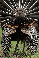 Wild Turkey (Meleagris gallopavo), tail feathers male displaying, New Braunfels, San Antonio, Hill Country, Central Texas, USA