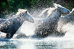 The Camargue Horses, also known as the 'horse of the sea',  have exisisted in this region for centuries. Carefully monitored, yet allowed to run wild,  these horses are very rugged with hooves especially adapted to lengthy exposure to water.