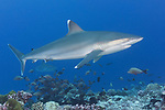 Rangiroa Atoll, Tuamotu Archipelago, French Polynesia; a silvertip shark swimming above a coral reef
