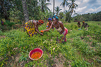 AWright_SierraLeone_004906.jpg<br /> Sierra Leone<br /> This swamp-like land in Mafinda is managed by women in the community. Each has her own plot where she grows corn, peppers and tomatoes to sell in the market. They receive training, seeds and fertilizers from BRAC.