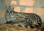 Small Indian Civet (Viverricula indica)(Introduced / non-native) resting in outbuilding. Village in eastern Madagascar.