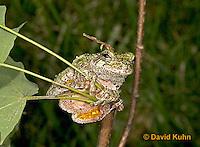 "0917-07qq  Gray Tree Frog - Hyla versicolor ""Virginia"" © David Kuhn/Dwight Kuhn Photography"