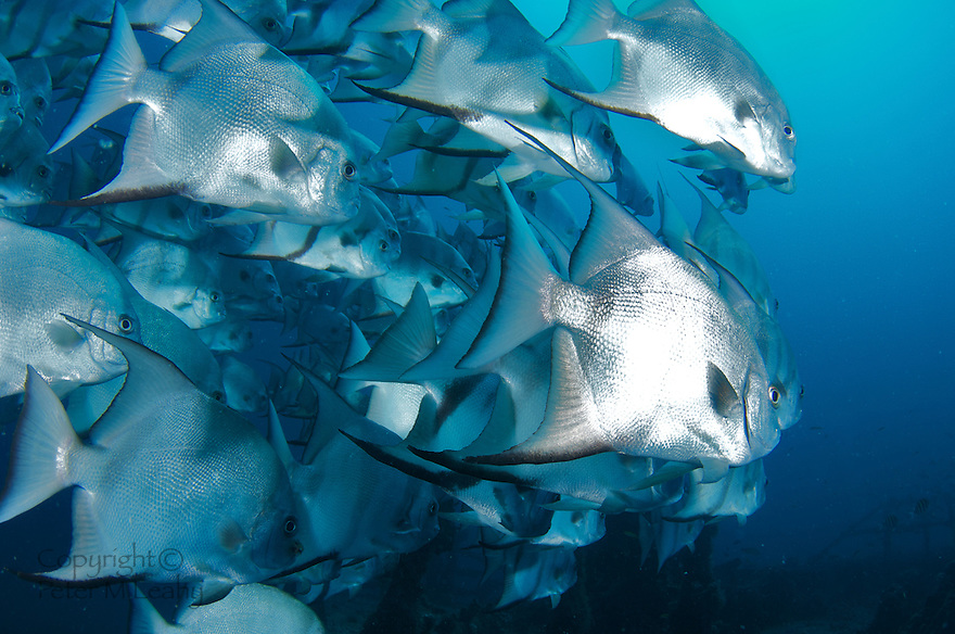 A school of Atlantic Spadefish swimming near a shipwreck.