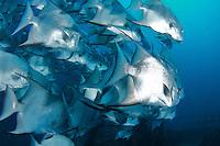 A school of Atlantic Spadefish swimming near a shipwreck.