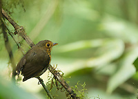 Ochre-breasted Antpitta, Grallaricula flavirostris, perched on a branch at Refugio Paz de las Aves, near Nanegalito, Ecuador