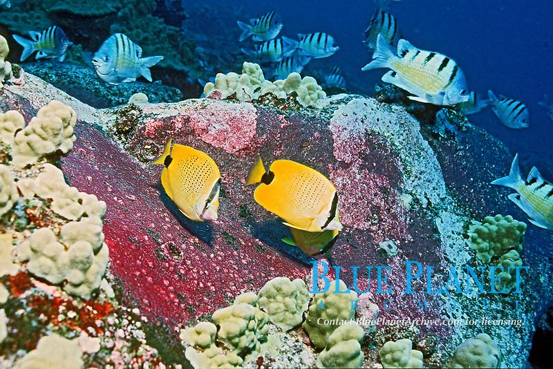 lemon butterflyfish or milletseed butterflyfish, Chaetodon miliaris, feeding frenzy on eggs purplish patches on rocks of Hawaiian sergeant major, Abudefduf abdominalis, endemic, Big Island, Hawaii, Pacific Ocean
