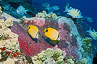 lemon butterflyfish or milletseed butterflyfish, Chaetodon miliaris, feeding frenzy on eggs purplish patches on rocks of Hawaiian sergeant major, Abudefduf abdominalis, endemic, Big Island, Hawaii, Pacific Ocean