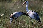Wattled Crane, Botswana (Vulnerable)