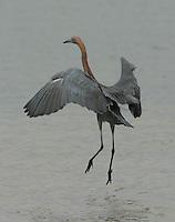 Reddish egret adult chasing fish