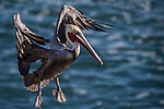 La Jolla, California; a brown pelican, with bright red breeding plumage, spreading its wings as it comes in for a landing on the rocks above the Pacific Ocean, in early morning sunlight