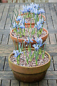 Iris reticulata 'Alida', early March.