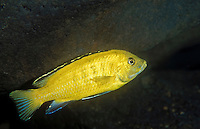 Malawi cichlid (Labidochromis spec.) found in Lake Malawi in East Africa.  There are two main groups of cichlids in Lake Malawi.  This is a Mbuna, or rock dweller, that spends most of its time rocky habitats.