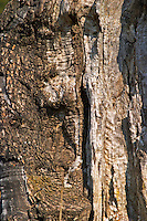Old tree bark with cracks at the Olive oil mill Moulin du Calanquet de Saint St Remy de Provence, Bouche du Rhone, France