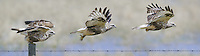 Rough-legged Hawk flight sequence - C1