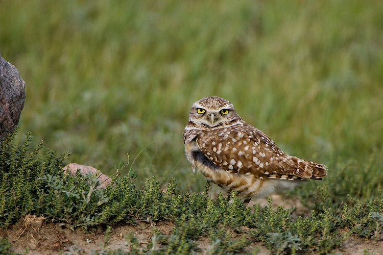 Burrowing Owl taking shelter from a strong prairie wind behind a boulder