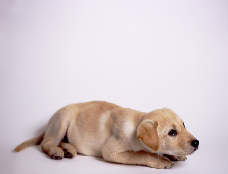 Young Dog, Golden Labrador Retriever, Canis lupus familiaris