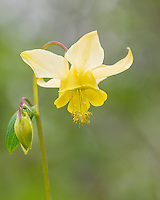 Yellow mountain columbine, Yellow columbine or Golden columbine (Aquilegia flavescens).  Northern Rocky Mountains, June.