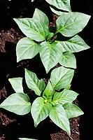 Gardening farmer plants pepper seedlings dives in spring