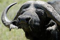 Jack Strydom Nature Reserve: AFRIKA, SUEDAFRIKA, 18.12.2007: Aliwal North, Wasserbueffel, Bueffel, Horn,  Jack Strydom Nature Reserve,  South Africa, travel, Afrika, Suedafrika,