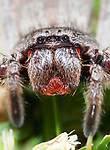 Huntsman Spider in Close Up