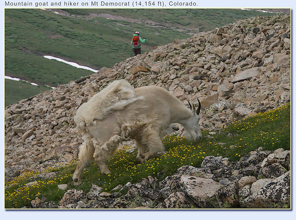 Late afternoon, after the last hikers descend, is the most common time to view wildlife.<br /> Mountain goat and hiker on Mt Democrat (14,154 ft), Colorado.