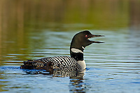Common Loon (Gavia immer) with young chick.  Adult is calling--a loon call on a quiet lake is one of the great nature sounds across northern North America.  Summer.  Sometimes also called Great Northern Loon or Diver.