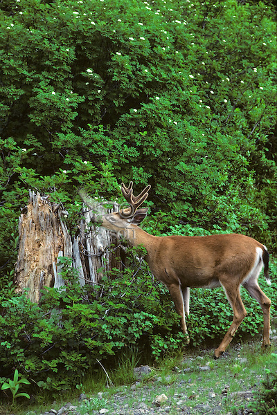 Black-tailed Deer buck grazing on mountain ash bush.  Pacific Northwest.  Summer.