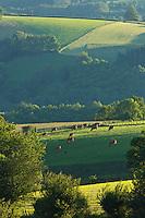 Europe/France/Midi-Pyrénées/12/Aveyron/Env de Rieupeyroux:  Ferme: La Maynobe de Pierre Bastide et son fils Romain. Elevage de  Veau d'Aveyron et du Ségala - Le Veau d'Aveyron et du Ségala est un veau fermier,  il est allaité par sa mère et reçoit en complément des céréales .<br /> Le Troupeau en pâture