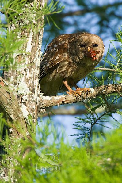 Barred Owl feeding on crayfish (crawfish) it has caught.   LA.