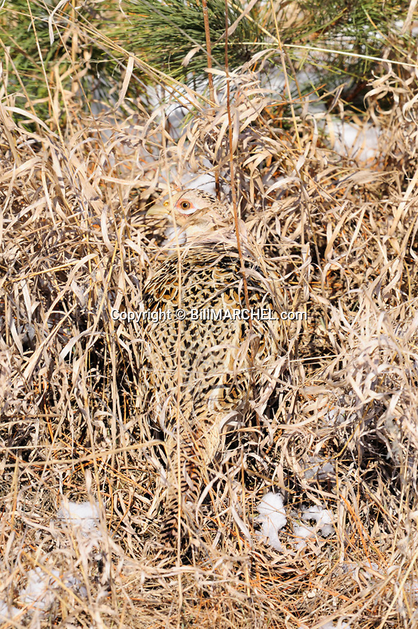 00890-040.02 Ring-necked Pheasant hen displays remarkable crytic coloration as she sits in brown grasses.  Camouflage, camo, hide.