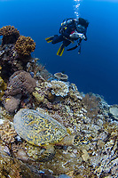 Hawksbill turtle, Eretmochelys imbricata, and diver, Layang Layang atoll, Sabah, Borneo, Malaysia, South China Sea, Pacific Ocean
