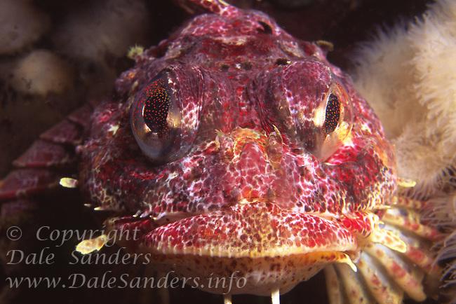 Red Irish Lord (Hemilepidotus hemilepidotus), British Columbia , Canada.