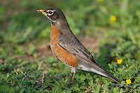 American Robin (Turdus migratorius), adult male,  Sinton, Corpus Christi, Coastal Bend, Texas, USA