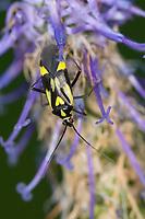 Weichwanze, Grypocoris sexguttatus, Weichwanzen, Blindwanzen, Miridae, plant bugs, Mirinae