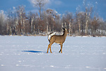 White-tailed buck walking across a frozen lake in northern Wisconsin.