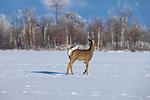 White-tailed buck walking across a frozen lake in northern Wisconsin.