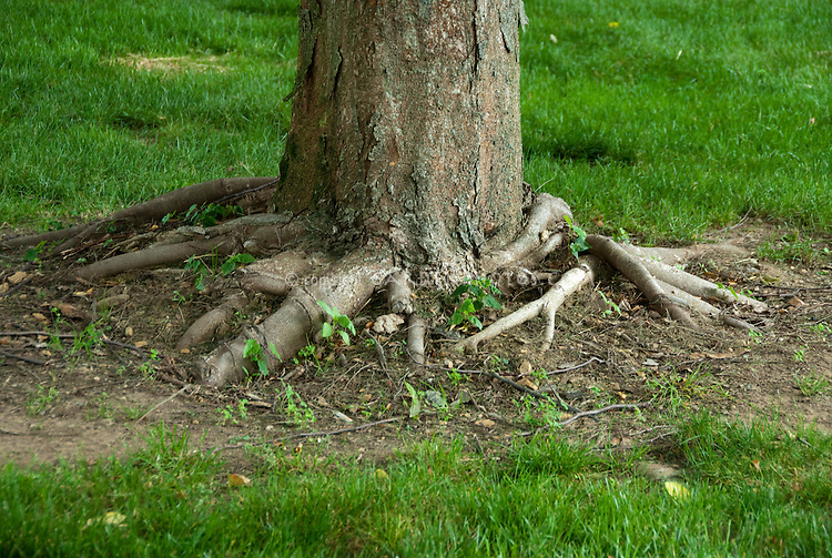 Roots of tree showing above the soil level, for shallow root system in dry shade