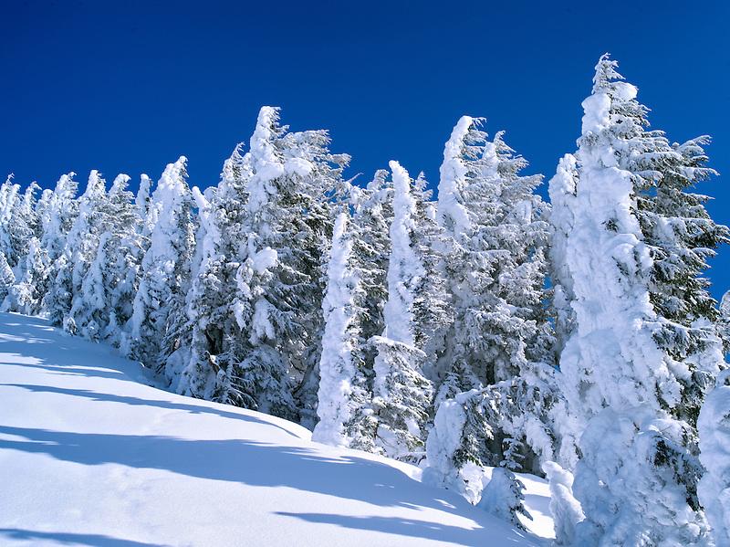 Snow covered trees. Mt. Rainier National Park, Washington