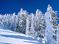 Snow covered trees. Mt. Rainier National Park, Washington