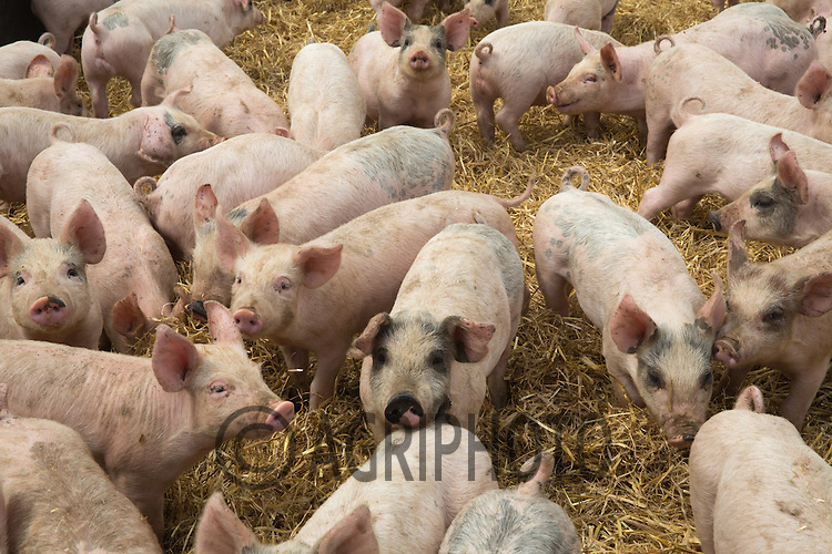 Weaner pigs in tents<br /> Picture Tim Scrivener 07850 303986<br /> ….Covering agriculture in the UK….