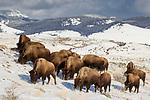 American Bison (Bison bison) herd grazing in winter, Gardiner, Yellowstone National Park, Montana