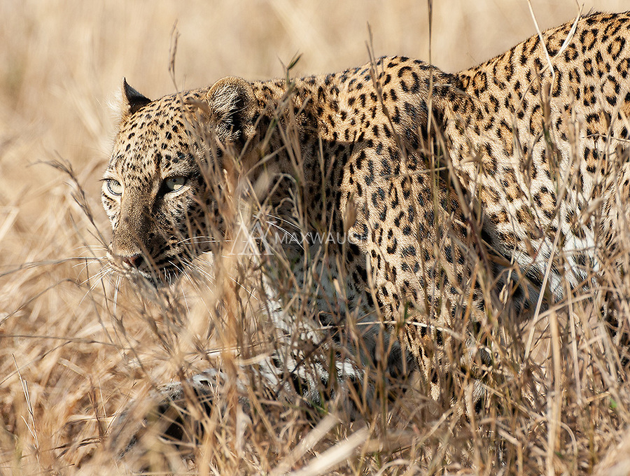 Leopards were probably the highlight of the trip for me, and today remain my favorite African animal.