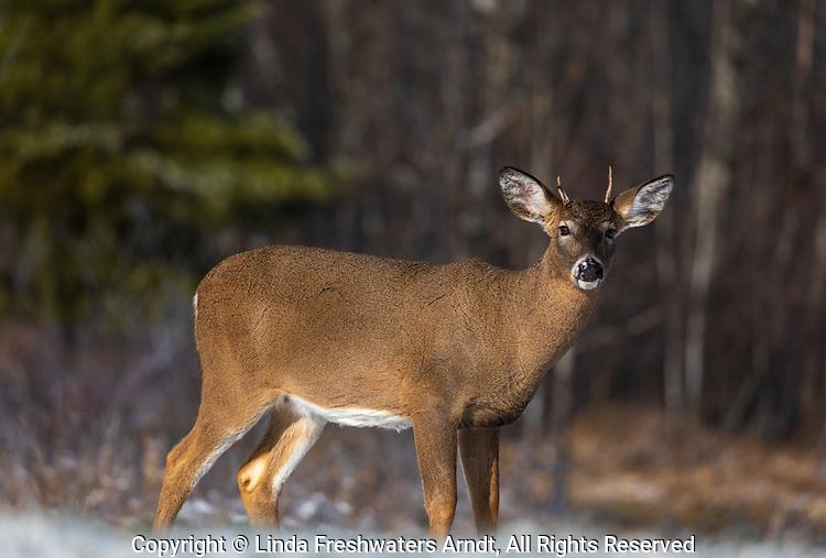 Spike buck in northern Wisconsin.