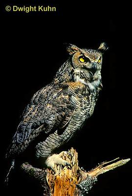 OW06-004z  Great horned owl - Bubo virginianus