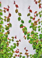 Climbing vine on white wall. Los Angeles, CA