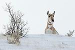 Pronghorn Antelope (Antilocapra americana) female in winter, Gardiner, Yellowstone National Park, Montana