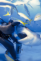 A Caribbean reef shark, Carcharhinus perezii, shows its prehensile jaw and nictitating membrane protecting eye during hand feeding session off Grand Bahama