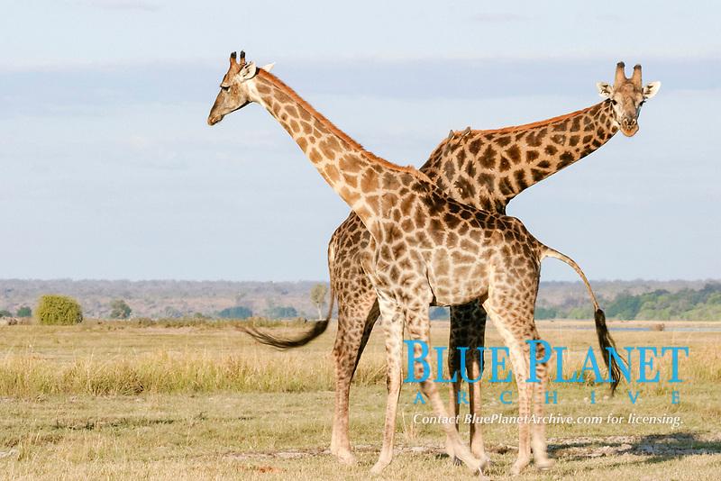 Giraffes, Chobe national park, Botswana / (Giraffa camelopardalis)
